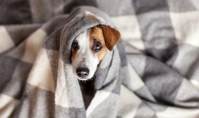 Razones por las que los perros tiemblan