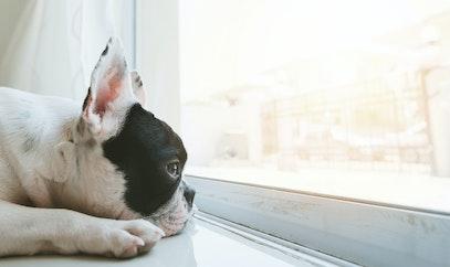 ¿Sabías por qué lloran los perros?